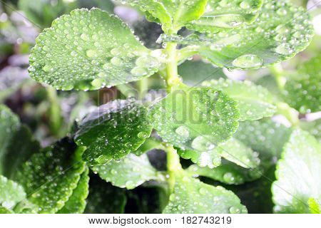 Beautiful drops of morning dew on the green foliage of a young plant on a sunny day