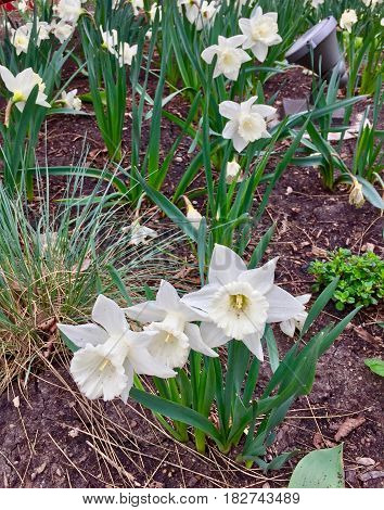 Star shaped white daffodils along the side walk