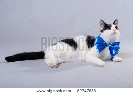 Beautiful Cat With A Blue Bow Tie, Isolated Photo.