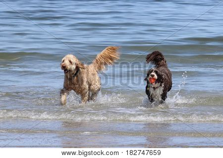 Two dogs playing a game of fetch with a ball in the ocean. poster