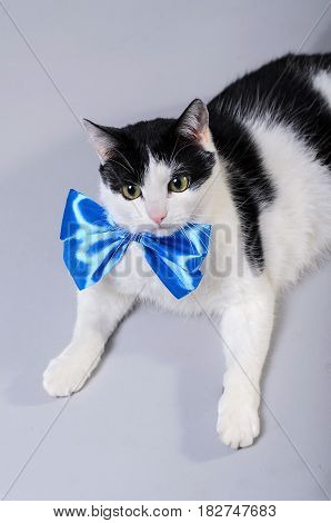 A Black And White Cat Wears A Blue Bow Tie.