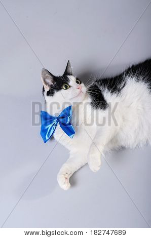 Beautiful cat with a blue bow tie isolated photo. A black and white cat on a gray background.