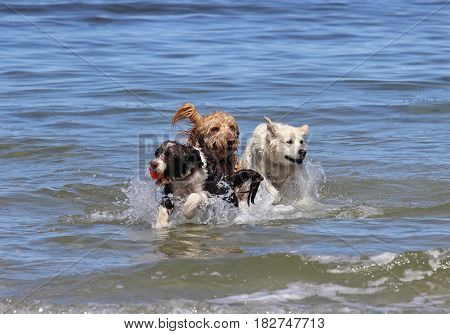 Three dogs playing with a ball at the beach.
