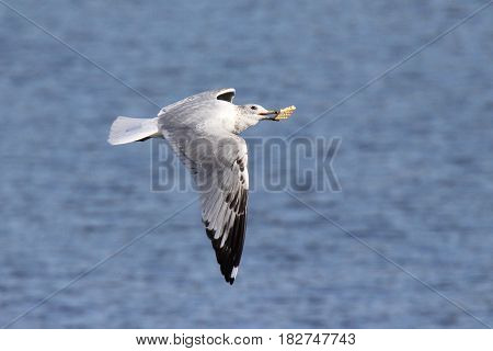 A ring billed gull flying over a lake with a biscuit in its beak