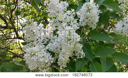 Lilac blooming in the park pleases the eye