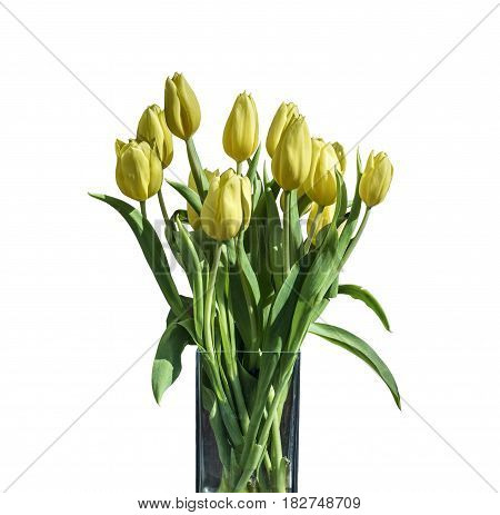 Spring bouquet of yellow tulips isolated on the white background in a bucket