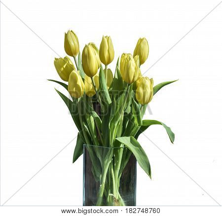Spring bouquet of yellow tulips isolated on the white background in a bucket version 2