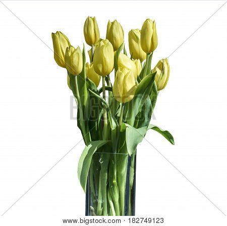 Spring bouquet of yellow tulips isolated on the white background in a bucket version 6