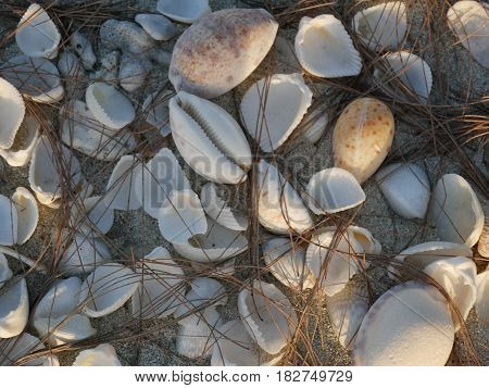 Seashells in the sand A bunch of seashells in the sand covered with pine cones