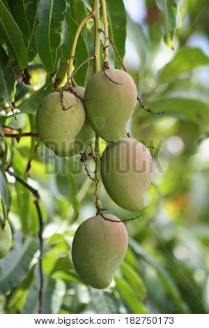 Green mangoes  Green mangoes hanging from the tree but is ready for harvesting