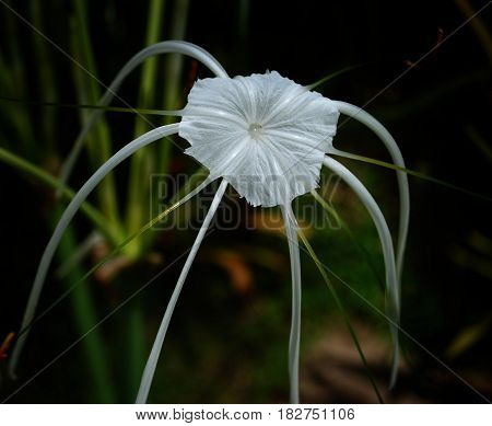 beach spider lily flower close up large white flowers that grow up in warmer coastal regions and tropical countries