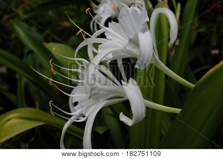 beach spider lily flowers, side view  large white flowers that grows up in warmer coastal regions and tropical countries