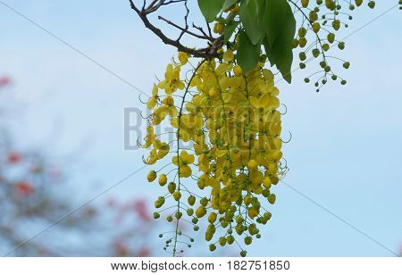 Golden shower or cassia fistula flowers A branch of beautiful golden showers hanging from the tree