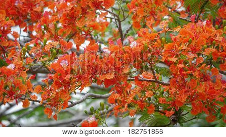 Flame tree flowers Fiery red branches of flame tree flowers in the Northern Mariana Islands.