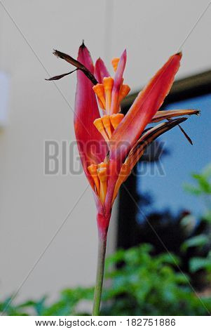 Bird of paradise (Strelitzia) flower Bird of paradise is a tropical flower also called crane flower