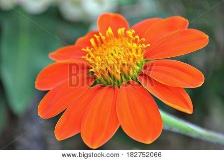 zinnia flower in bloom orange zinnia with yellow tips