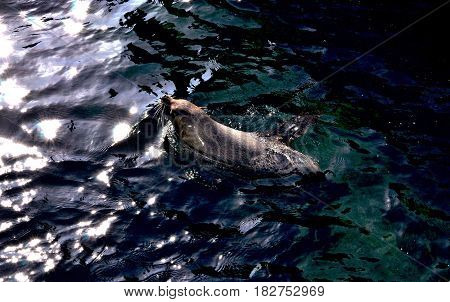 Close-up photography. Seal swimming in the pool.
