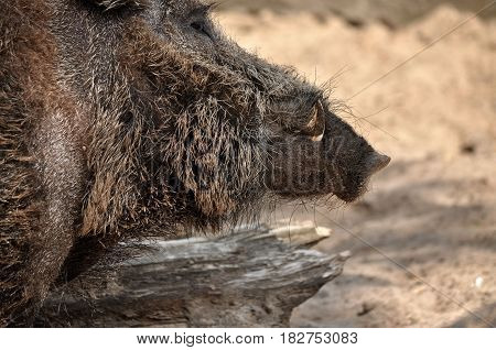 Animal close-up photography. Adult wild boar portrait.