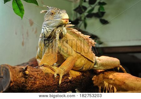 Iguana sits on a dry tree branch.