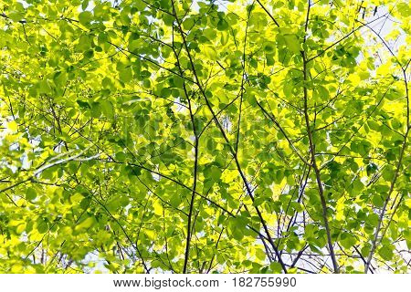 Green foliage with sun light in summer