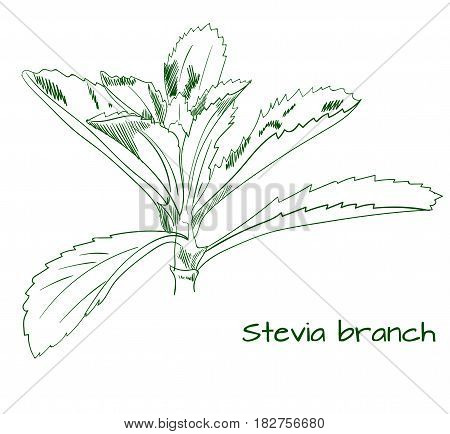 Stevia branch outline VECTOR sketch isolated on white.