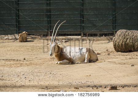 Oryx resting peacefully under the sun very quite