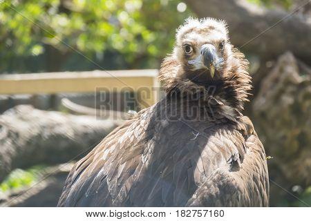 Black vulture resting quietly sunbathing, staring quite