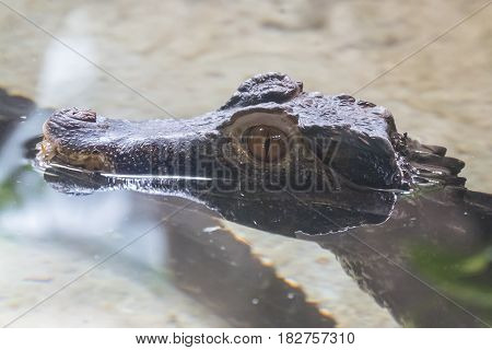 Cuvier's caiman head protruding from the water