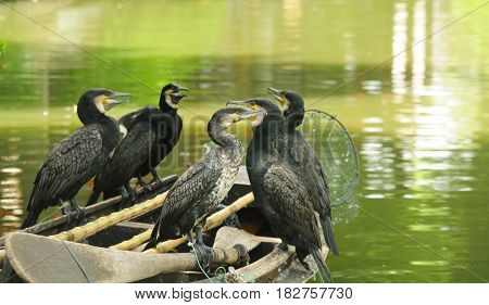 Chinese fishing cormorants resting on the edge of a wooden boat on the water canals of Luzhi water town in Jiangsu province.