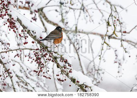 american robin at Vancouver BC Canada 2017 Feb.