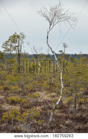 A dwarf birch in the marshland, Nigula Nature Conservation Area, Estonia.
