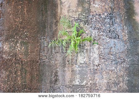 Appearance mountain fern stuck on cliff.Nature background