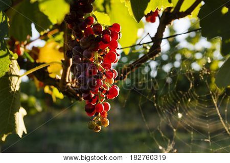 The grapes in the vineyard. Wine region of South Moravia Czech Republic.