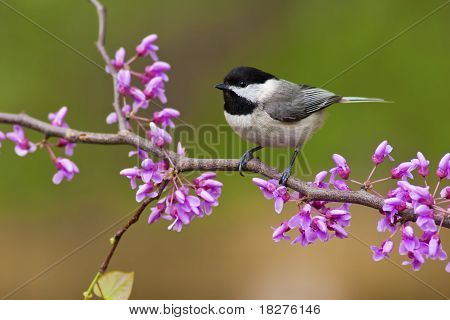 Black-capped Chickadee (Poecile atricapillus) perching on a Redbud Tree poster