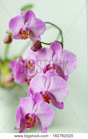 Lilac Orchid On The Window, A Lot Of Flowers On The Stems