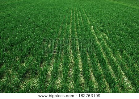 Farm field with lush green crops growing