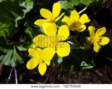 marsh marigold , (Caltha palustris) , yellow flower