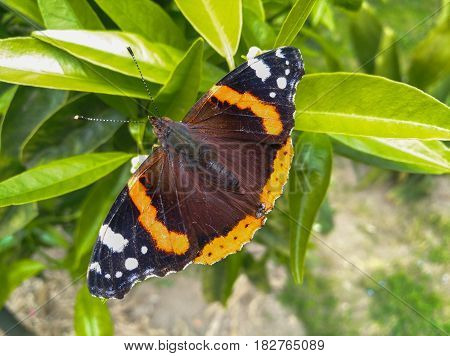 Vanessa Cardui Butterfly