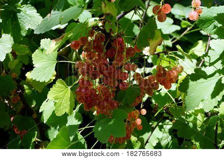 Clusters of ripe translucent pink champagne currant fruits dangle on a currant bush (Ribes rubrum), in a garden in Joliet, Illinois, during July.