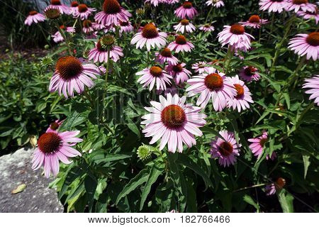 Purple coneflowers (Echinacea purpurea) bloom during July in Joliet, Illinois.