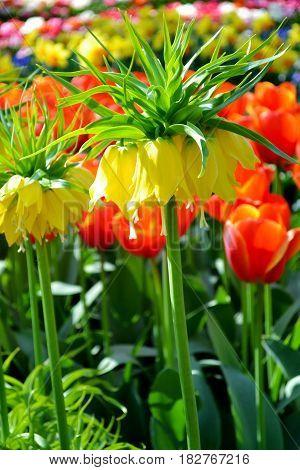 Garland Star Fritillaria Imperialis from Keukenhof garden Netherlands