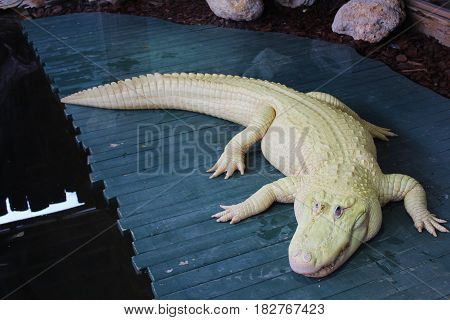A rare albino alligator in the zoo.