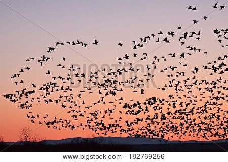 Snow geese taking off at sunrise in Bosque del Apache New Mexico