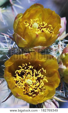A Close Up of an Open Pair of Yellow Cholla Blossoms