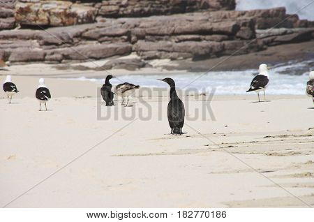 Birds at Dias beach. The Cape of Good Hope, Cape Town, South Africa.