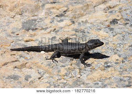 Black girdled lizard at National park . The Cape of Good Hope, Cape Town, South Africa.