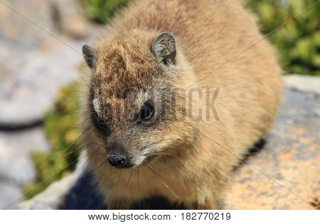 Rock Hyrax is sitting on the stone in National Park. This small animal is relative to elephant. The Cape of Good Hope, Cape Town, South Africa.