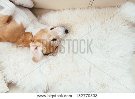 Lazy beagle dog lies on sofa on the natural sheepskin fur