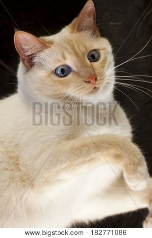 Portrait of a white cat with big blue eyes