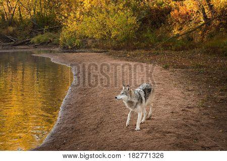 Grey Wolf (Canis lupus) Looks Left Along River Beach - captive animal